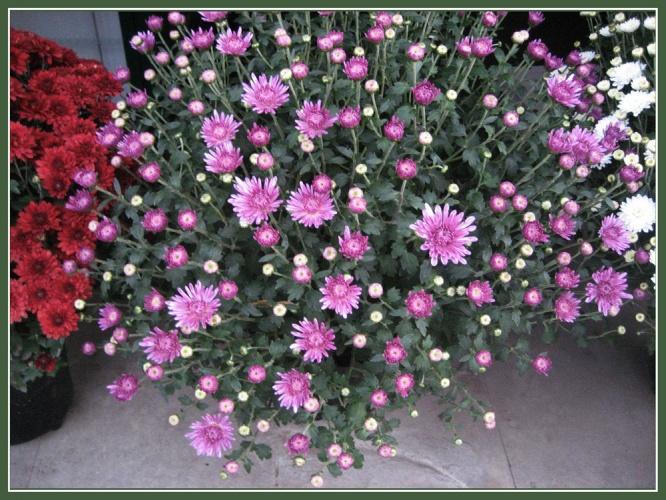 хризантемы сиреневые фото